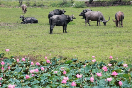 Water buffalo eating grass in a field  photo