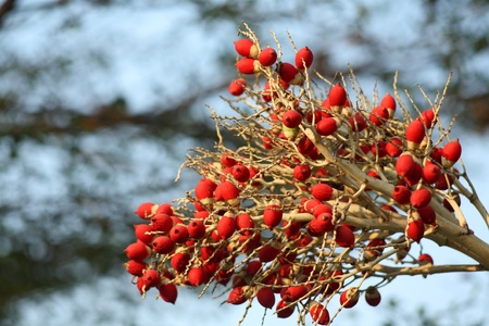 fishtail: berry of fishtail palm,shallow dof