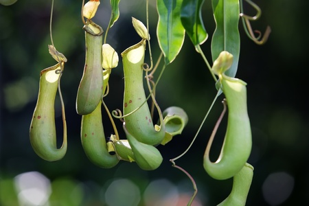 tropical pitcher plant  photo