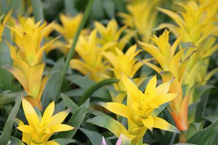 yellow bromeliad  photo