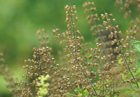 dry holy basil flower  photo