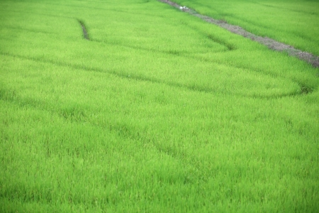 trail in paddy field  photo