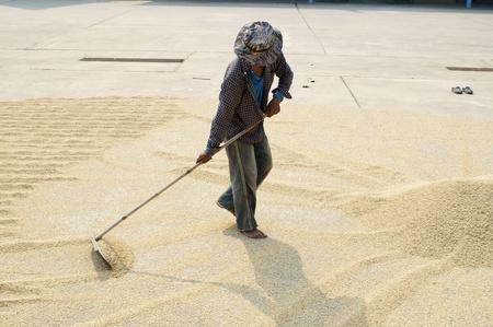 harrow: worker using harrow on rice grain field
