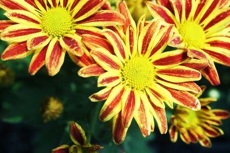 colorful dahlia flower  Stock Photo - 21247484