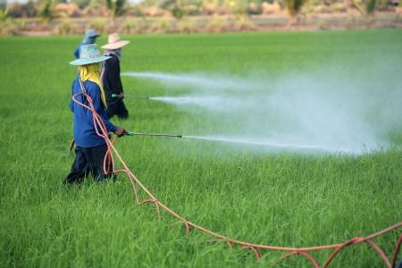 Contadino irrorazione di pesticidi in risaia Archivio Fotografico - 21258610