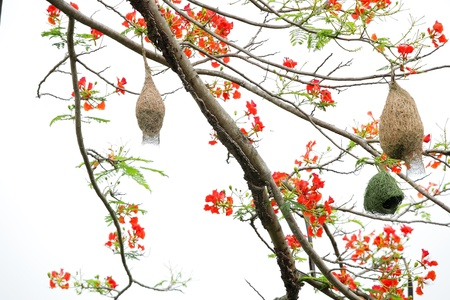 weaver nest on flame tree photo