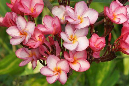 beautiful frangipani flower  photo