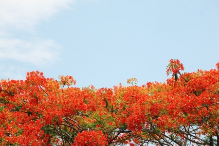 flamboyant: Flame tree flowers and blue sky Stock Photo