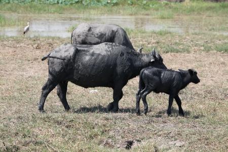 water buffalo in field  photo