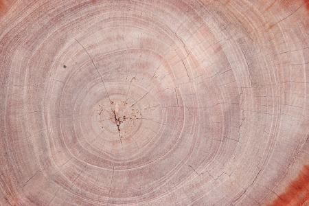 Wood texture of cutted tree trunk, close-up  photo
