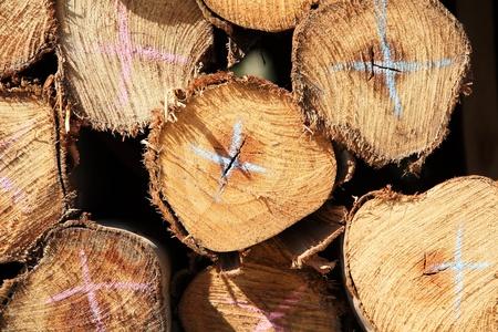 Logs form Eucalyptus trees photo