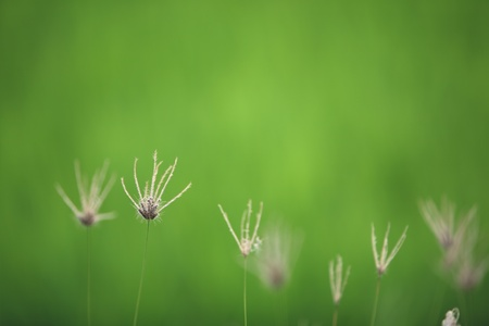 dry reed with green background,shallow DOF  photo