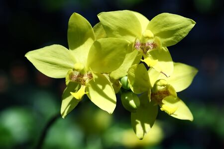 yellow ground orchid flower photo