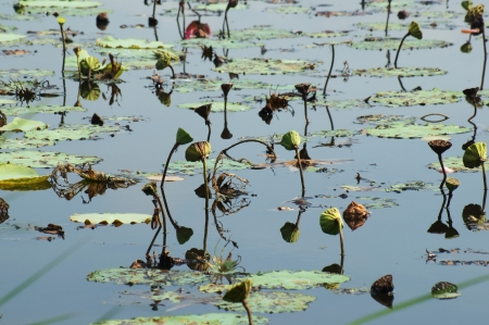 decadent: abstract of decadent lotus pond