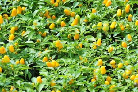 yellow chilli plant  photo