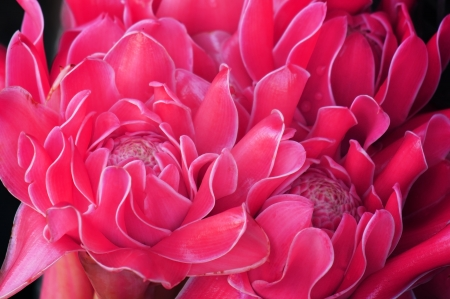 torch ginger flower Stock Photo - 21302418