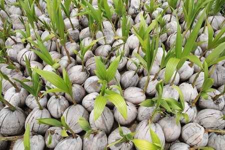 coconut seedlings: young plant coconut background
