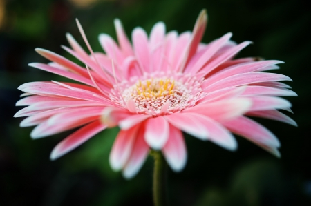 pink gerbera flower. photo