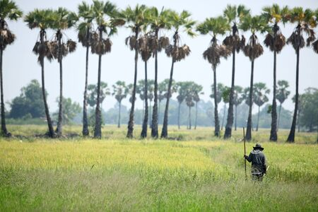 farmer in paddy field with sugar palm tree background photo