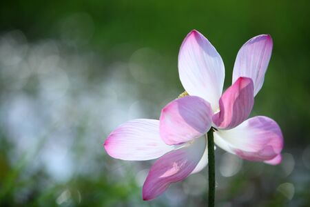 blooming lotus flower with abstract bokeh background  photo