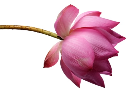 lotus flower isolated on white background Stock Photo - 21373449