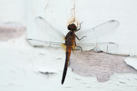 dragonfly on peeling painted wooden panel  photo