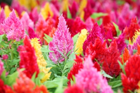 colorful celosia flower  photo