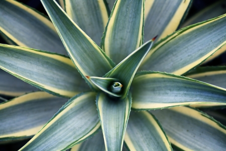 agave: Agave plant