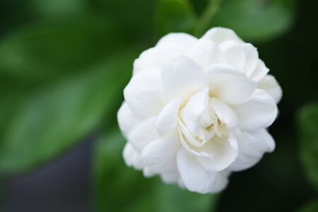 arabian jasmine flower  photo