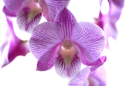 purple orchid flower isolated on white background photo