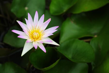 beautiful lotus flower  photo