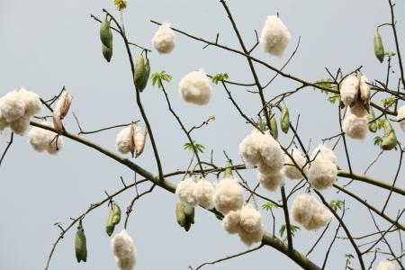white silk cotton tree