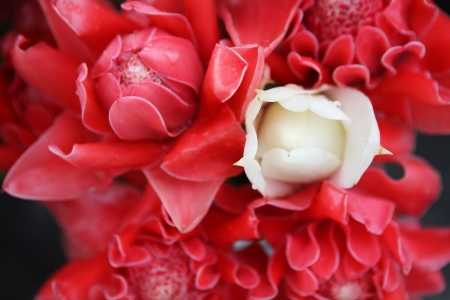 white torch ginger flower among red torch ginger flower  photo