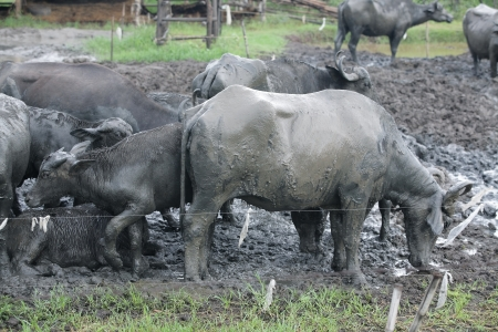 group of water buffalo in mud  photo