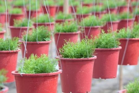 row of gypsie flower plantation