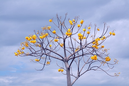 Yellow cotton tree a gainst blue sky  photo