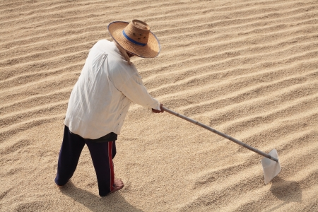 farmer drying rice by using harrow to equalize rice grain on the ground  photo