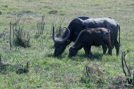 water buffalo in a field  photo