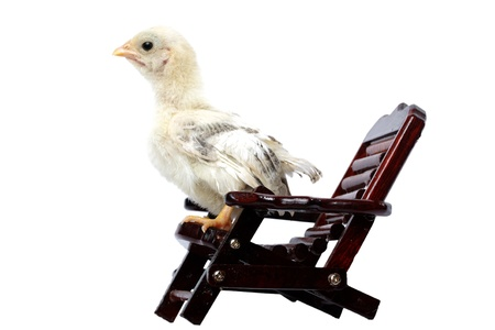 chick on deckchair isolated on white background  photo