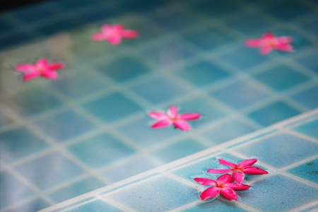 Frangipani flower in swimming pool photo