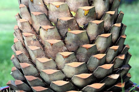 boom kappen: texture of palm tree,cutting by human