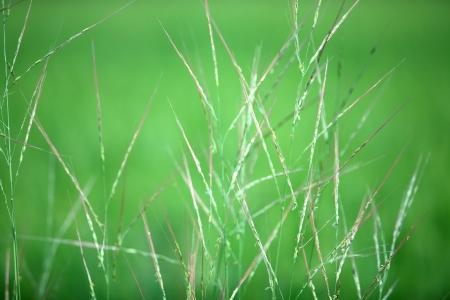 reeds background  photo