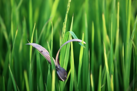 flying seed on paddy leaf  photo