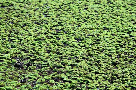 duckweed background  photo
