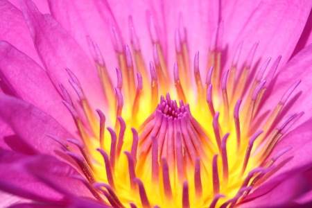 close up of yellow-pink lotus flower photo