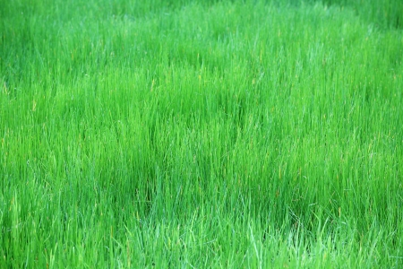 field of papyrus plant  photo