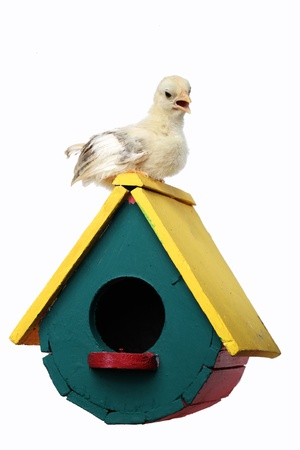 chick on colorful bird house isolated on white background  photo