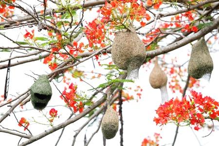 bird nest on flame tree flower  photo