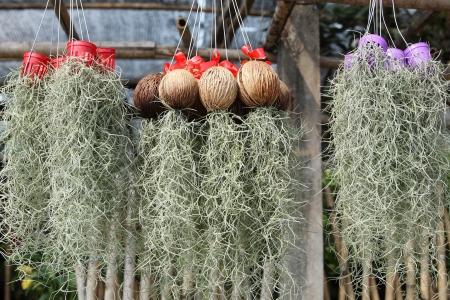 remix: spanish moss for decoration
