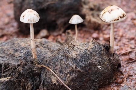 excreta: magic mushroom on excrement